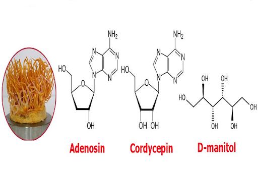 Thành phần của đông trùng hạ thảo: Cordycepin và Adenosine