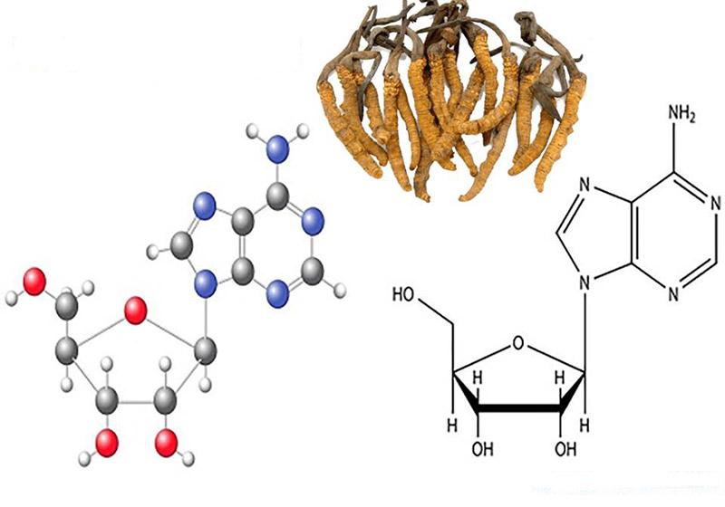Hàm lượng Cordycepin trong đông trùng hạ thảo rất lớn