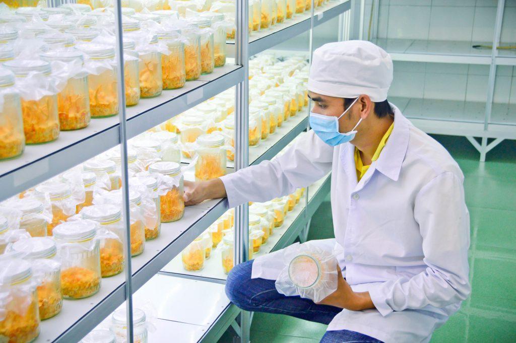 quy trình nuôi cấy nấm đông trùng hạ thảo